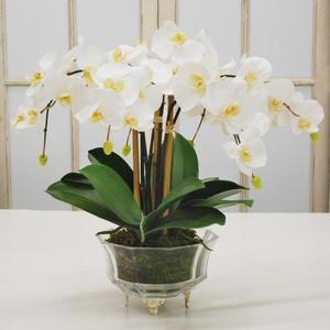 Thumbnail of Winward - Phalaenopsis Orchid, Crystal Glass (White)