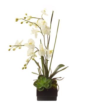 Thumbnail of John Richard Collection - Phalaenopsis Orchid